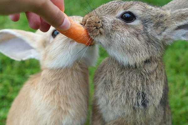 rabbit-carrot