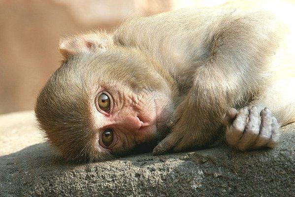 reclining-monkey