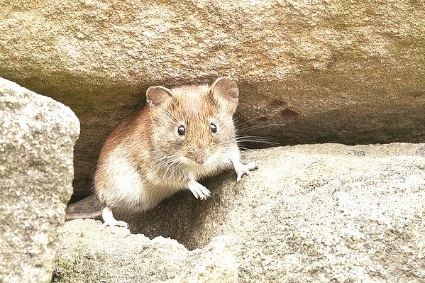 mouse-of-rock