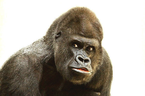 gogo-gorilla