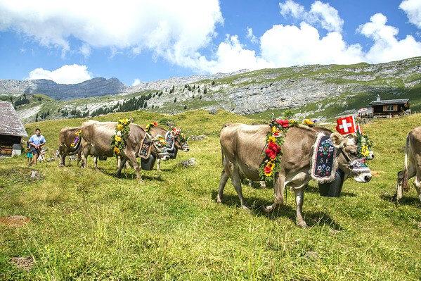 swtzerland-cow