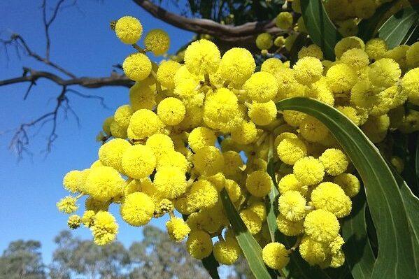 wattle-blossoms